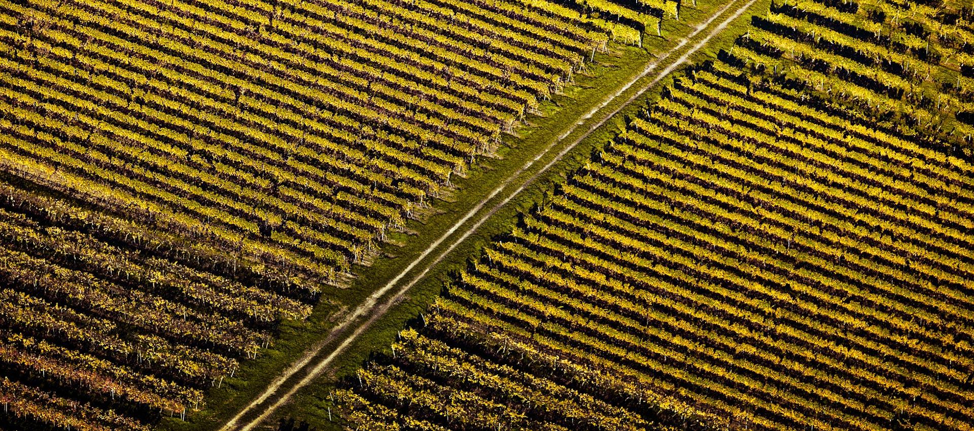 Luftaufnahme von Rebstöcken Bild 21